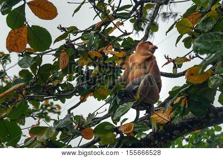 Proboscis Monkey with long nose in Bako National Park Sarawak. Borneo. Malaysia
