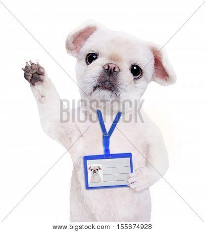 Dog wear blank white badge mockup . Isolated on the white.