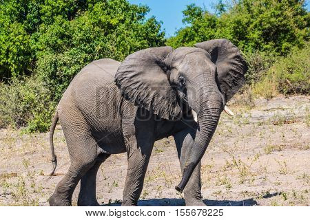 Fascinating journey to Africa. Elephant - single. The concept of exotic tourism. Watering large animals in the Okavango Delta, Chobe National Park