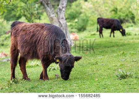 Beef cattle calves in a new spring green field