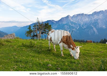 cow on a background of mountains Alps