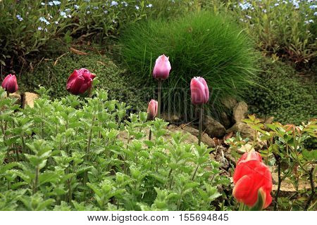 Flowerbed with pink tulips and forget-me-not, shallow depth of field