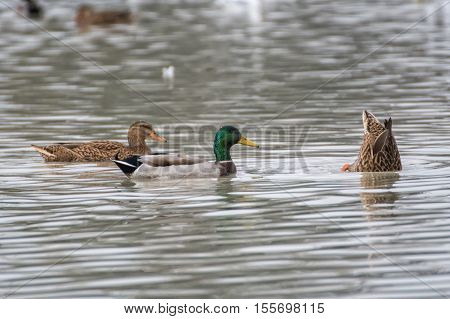 Wild Ducks Swim On A Lake