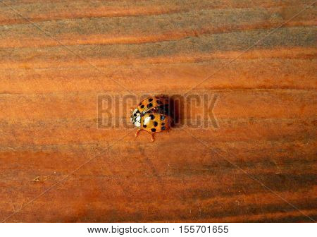 Close-up of a black dots orange ladybug prepare to fly from the wooden wall