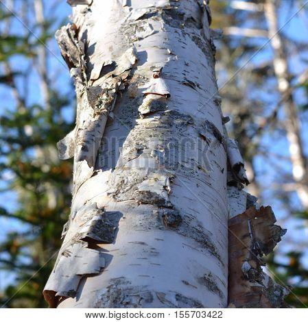 Birch Bark Peeling off Tree Trunk: Close Up of Trunk