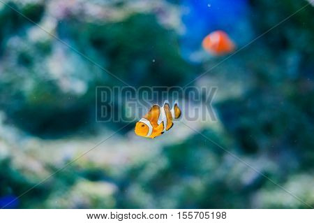 Pacific Clown Fish On Coral Background