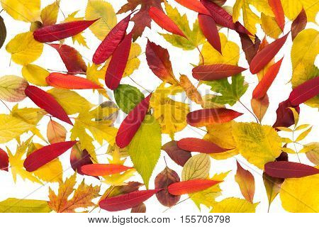 Autumn maple, ash-tree, aspen, rowan and oak leaves isolated on white background. Beautiful fall season yellow, red and brown foliage texture.