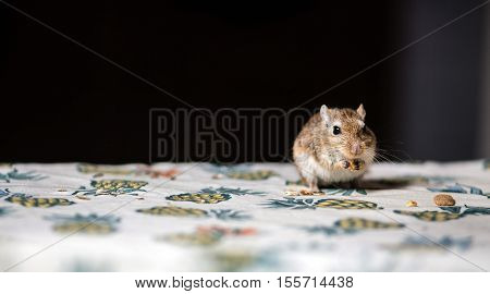 Little gerbil mouse eat seeds and grains on the table.
