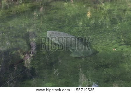 Manatees in their natural environment the St.John River Florida