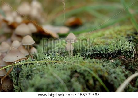 Many small inedible fungus near stump in the woods.