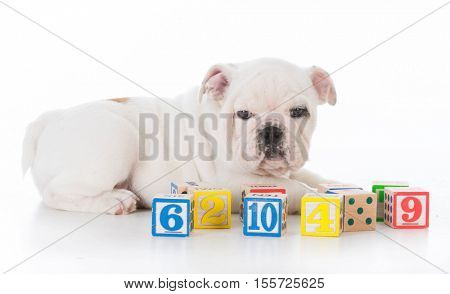 cute bulldog puppy laying beside number blocks on white background