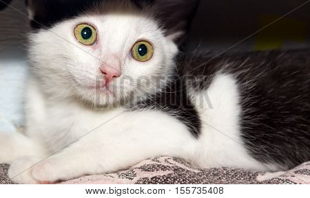 Black and white cat with big yellow-green eyes. Close-up.