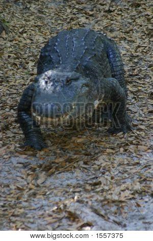 Walking Aligator
