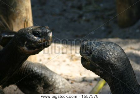Two Turtle Heads