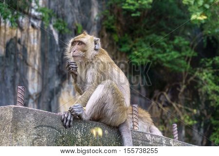 Monkey (Crab-eating macaque) with green tree background in Thailand
