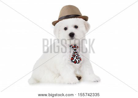 Two months old Pure breed Bichon Frise puppy in a hat isolated on white background