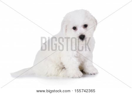 Two months old Pure breed Bichon Frise puppy isolated on white background