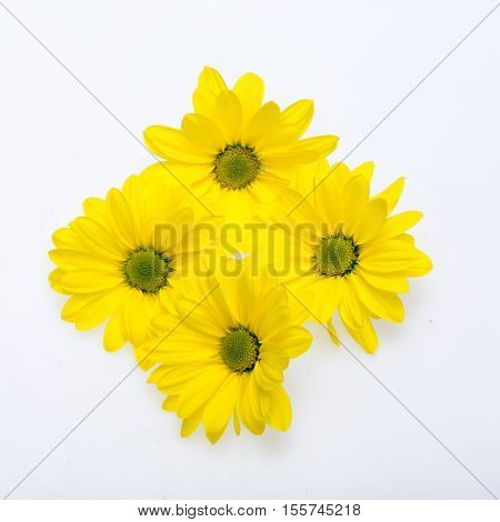 young yellow chrysanthemum flower isolated on white