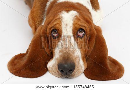 Dog, basset hound portrait on the white background, isolated