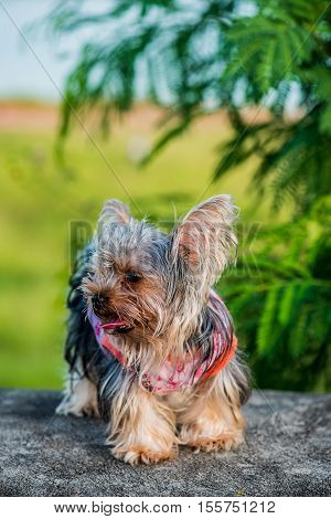 Yorkshire terrier small dag playing in the park