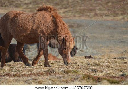 Scruffy looking chestnut Icelandic horse on a farm in Iceland.