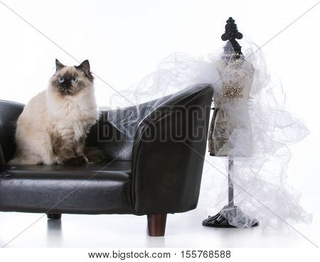 ragdoll cat sitting on couch looking regal