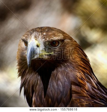 Photo of the Tawny Eagle (Aquila rapax)