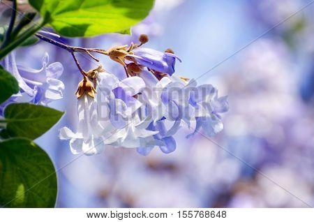 Spring Paulownia Flower Blossom Over Light Background
