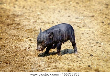 Photo of the Little Black Pig At Beige Sand