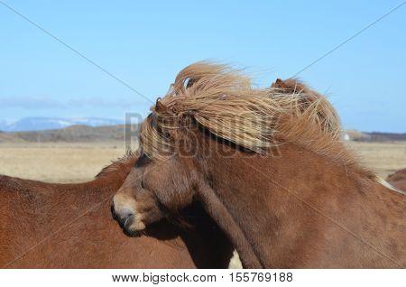 Pair of grooming palomino Icelandic horses in a field.