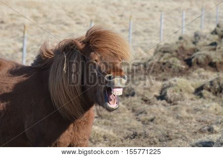 Grinning horse with his teeth showing in his smile.