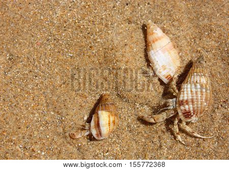 Three hermit crabs on the background of sand.