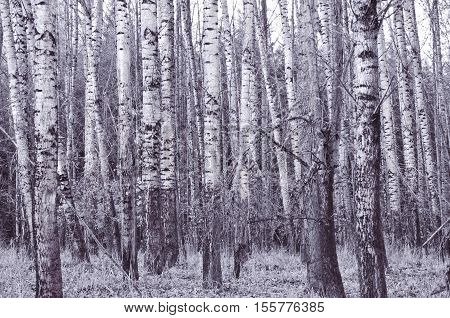 Grove of white birch trees with silver overtone