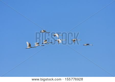 A flock of whooper swan in migration. Clear blue sky in April.
