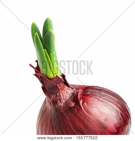 Germinated onion with green leaf isolated on white