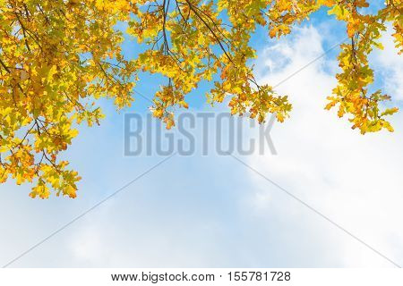 Oak Tree Branches - Yellow Autumn Foliage In Front Of Blue Sky And White Clouds