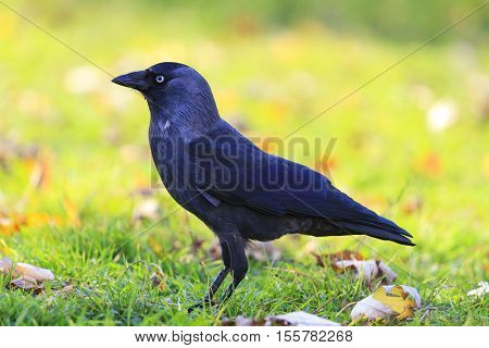 jackdaw among colorful autumn landscape, black bird, mystic, blue eyes, magic