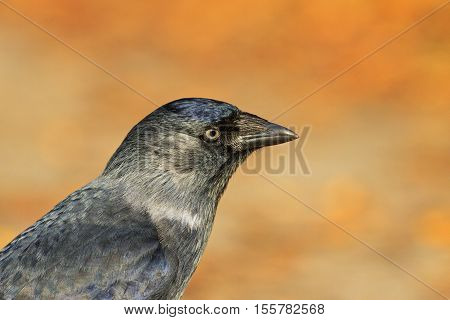 Portrait jackdaws on an orange background, black bird, mystic, blue eyes, magic