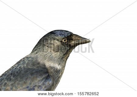 Portrait jackdaws isolated on white, black bird, mystic, blue eyes, magic