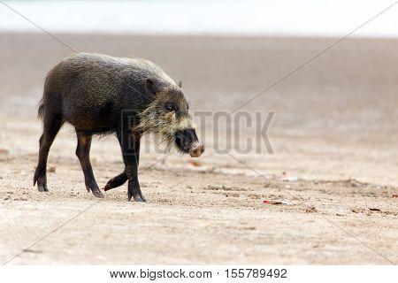 Bornean bearded pig, Sus Barbatus, walking on the Bako national park beach, Kuching, Malaysia, Borneo