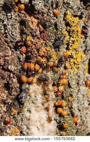 Harmonia axyridis large quantities of ash tree sap.