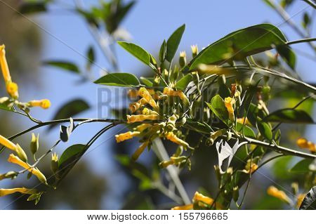 Flowers of the tree tobacco (Nicotiana glauca)