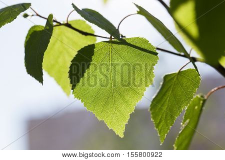 photographed close-up of a young birch tree green leaves