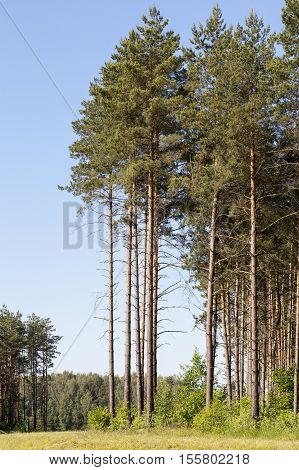 forest photo, which grows a large number of pine trees, solitary trees on a background of blue sky