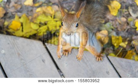 Standing squirrel in autumn He is looking at you from the bottom