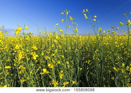 photographed close up in the agricultural field rape flower