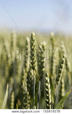 photographed closeup immature green wheat ears growing on agricultural field