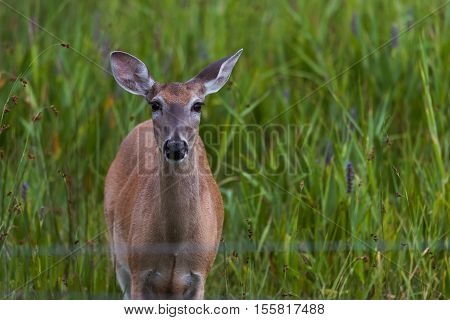 Whitetail doe (female deer) standing in a grassy area looking at camera.