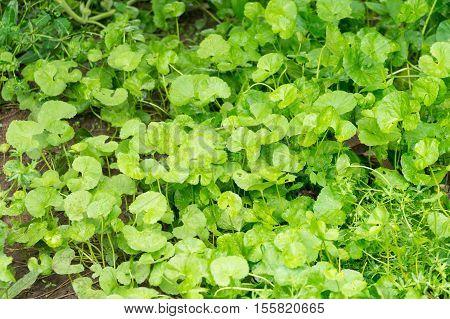 Gotu kola Asiatic pennywort Indian pennywort green leaf background Tiger Herbal in thailand