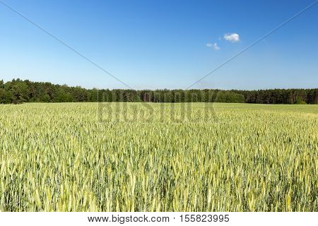 Agricultural field on which grow immature cereals, wheat.